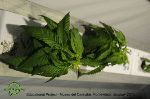 Educational Project, Museo del Cannabis Montevideo, Uruguay 2018